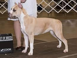 american pitbull terrier merchandise american pit bull terrier dog spotters