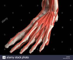 Top Foot Anatomy Digital Medical Illustration Top View Of Human Foot Skeleton