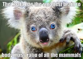 the koala a truly special creature album on imgur