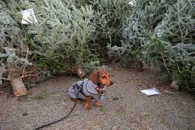 dachshund nola oh christmas tree and decorating positive blog