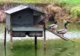 where can i buy duck fiji duck r buy rent sell boston