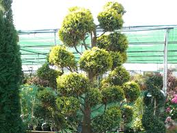 Topiary Cloud Trees - topiary and buxus at broadland nurseries