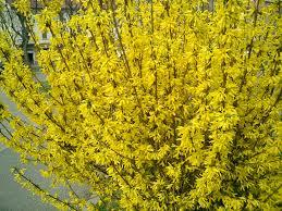 early spring flowering shrubs u2013 soon blooming u2026 u2026