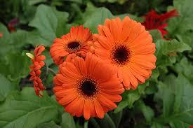 gerbera plant orange gerbera gerbera orange in reno sparks lake tahoe