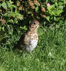 song thrush irish garden birds