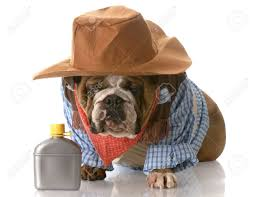 Halloween Costumes English Bulldogs English Bulldog Wearing Cowboy Costume Sitting Whiskey