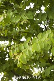 cercidiphyllum japonicum katsura tree mail order trees