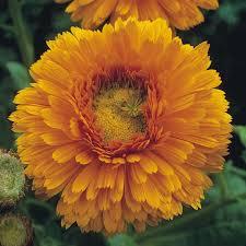 Calendula Flowers 225 Best Flowers Marigolds Calendula Images On Pinterest