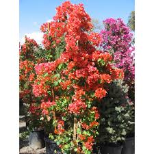 bougainvillea u0027orange king u0027 vines plant type boething