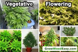 cannabis light schedules vegetative stage vs flowering stage