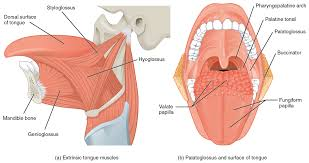 Picture Of Abdomen Anatomy Axial Muscles Of The Head Neck And Back Anatomy And Physiology