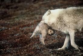 who s afraid of the big bad beautiful wolf 56 pics