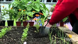 planting marigolds as companion plants youtube