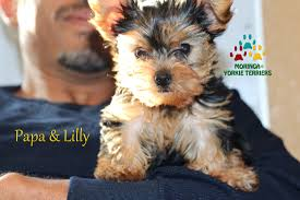 puppies for sale moringa yorkie terriers teacup puppies for sale yorkie grooming