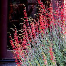 native new mexico plants penstemon centranthifolius scarlet bugler