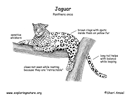 jaguar bw diagram150 jpg