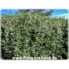 murraya paniculata large orange jasmine jasminum officinale true jasmine common jasmine french perfume