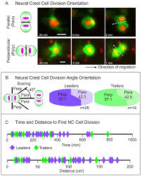 the neural crest cell cycle is related to phases of migration in
