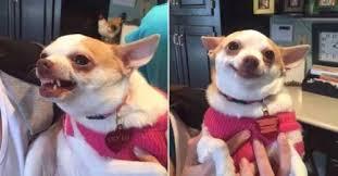 Funny Chihuahua Memes - create meme hungry pokushal hungry pokushal funny chihuahua