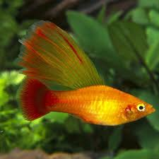 1323 best freshwater fish images on tropical fish