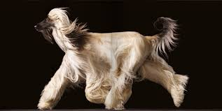 afghan hound trainability tim flach u0027s dogs creative review