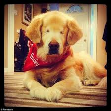 Blind Great Dane This Is Smiley U2013 The Beautiful Golden Retriever Born Without Eyes
