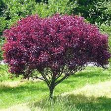 Good Backyard Trees by Purple Leaf Plum Deciduous But Also