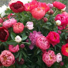 peonies flower peony assorted colors garden plants flowers garden center