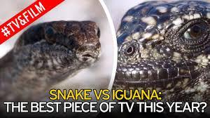 planet earth ii u0027s snake army killing baby iguanas shocks thousands