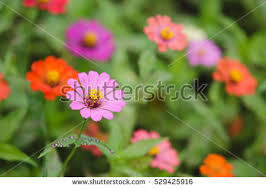 zinnia flowers in garden stock images royalty free images