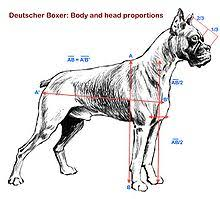 boxer dog weight at 10 months boxer dog wikipedia