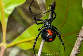 Black Widow Spiders Had A - blog how to spot black widow spiders in new jersey