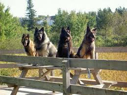 4 belgian sheepdogs saved by dogs continential shepherds belgians