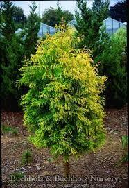 15 best deciduous trees conifers images on