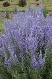 russian native plants denim u0027n lace u0027 russian sage perovskia atriplicifolia