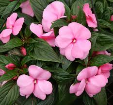 impatiens flowers impatiens are dying choose alternative shade plants instead