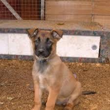 belgian shepherd dog club of canada the 25 best belgian laekenois ideas on pinterest belgian