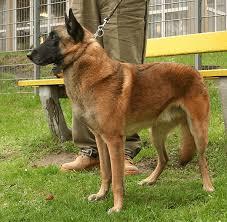 belgian shepherd short hair belgian shepherd dog malinois