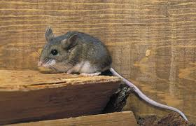 8 questions and answers about deer mice and hantavirus