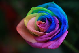 different color roses how to grow a rainbow naturally pickchur