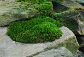 Moss How To Grow Moss Moss And Stone Gardens