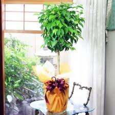 the most common houseplant we see it everywhere there are plants