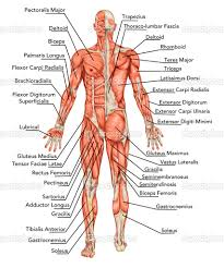 inner body archives page 19 of 73 human anatomy chart