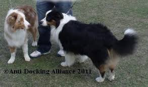 australian shepherd joint problems anti docking dogs u0027 tails and cropping of dogs u0027 ears puppy sales