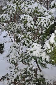 kalmia latifolia photo of the entire plant of mountain laurel kalmia latifolia