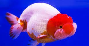 pesci alimentazione pesce rosso cura e alimentazione greenstyle