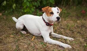 jack russell american pitbull terrier mix difference between jack russell and parson russell