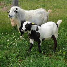 15 famous goat breeds to raise for milk meat and fleece the self