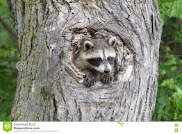 raccoon peeking stock photos images u0026 pictures 55 images