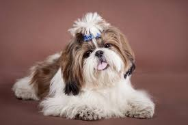 shih tzu with curly hair most popular hypoallergenic non shedding dog breeds